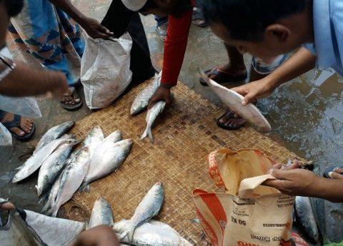 hilsha fish 1 0