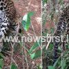 c47cccf4 490415be gampola leopard 1 850x460 acf cropped