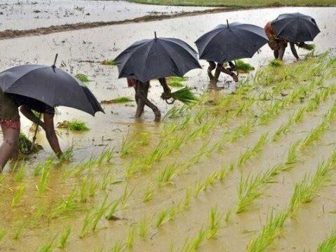 monsoon paddy field bhubaneswar reuters 625x300 1529852668288