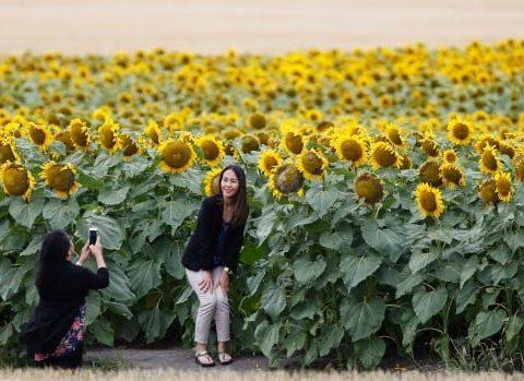 sunflower selfies 20180731