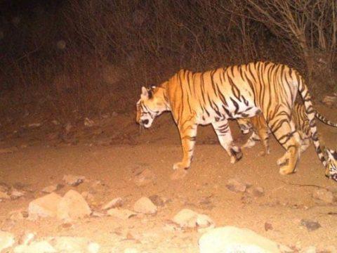 o89u0re8 avni tigress t1 yavatmal maharashtra 625x300 16 October 18