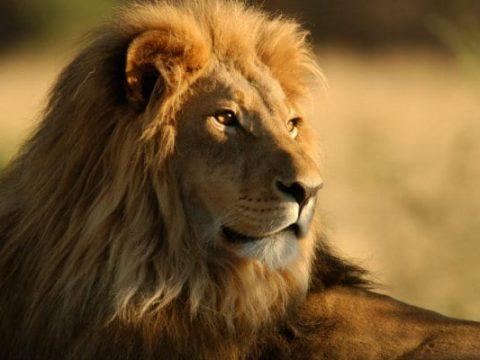 lion generic 650x400 41433189668