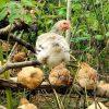 chickens skeena valley farms