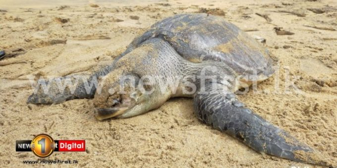 75c464b7 397c503a dead sea turtles 2 850x460 acf cropped