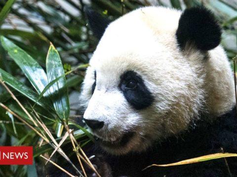 119322759 giant panda getty