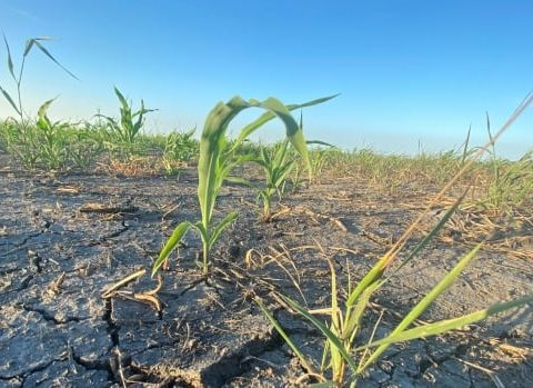 manitoba drought