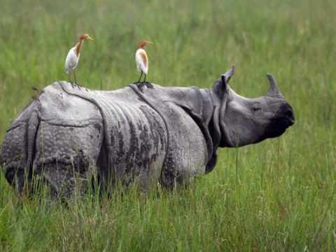 kd2736e kaziranga rhinos afp 625x300 05 July 19